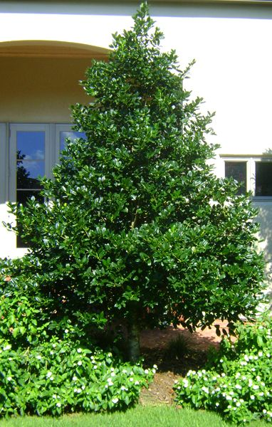 17 Best Images About Shrubs The Holly On Pinterest 4 H