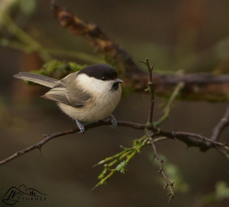 https://flic.kr/p/SeJuAk | Willow Tit |  © M J Turner Photography   Website  || Online Shop || Etsy Shop  Facebook || Twitter || Tumblr  || Pinterest  ||  500px   The Willow Tit is quite a rare breed of bird and is only found in a few areas of Scotland.  I was lucky enough to photograph this little fellow today at Ken-Dee Marshes in Dumfries & Galloway.  They look very similar to Coal Tits although they have a larger black cap on their heads.