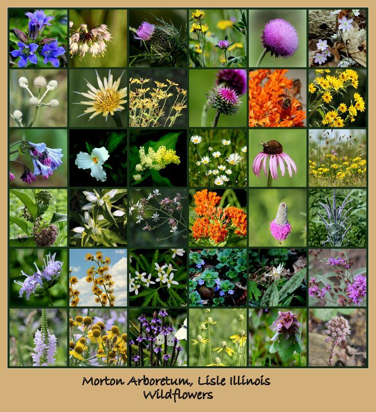 67 best images about il wildflowers on Pinterest | Sun, Perennials ...