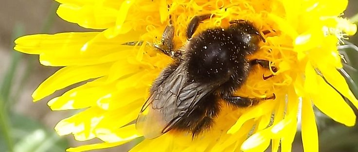 Are Bumble Bees really rare? We've seen loads!