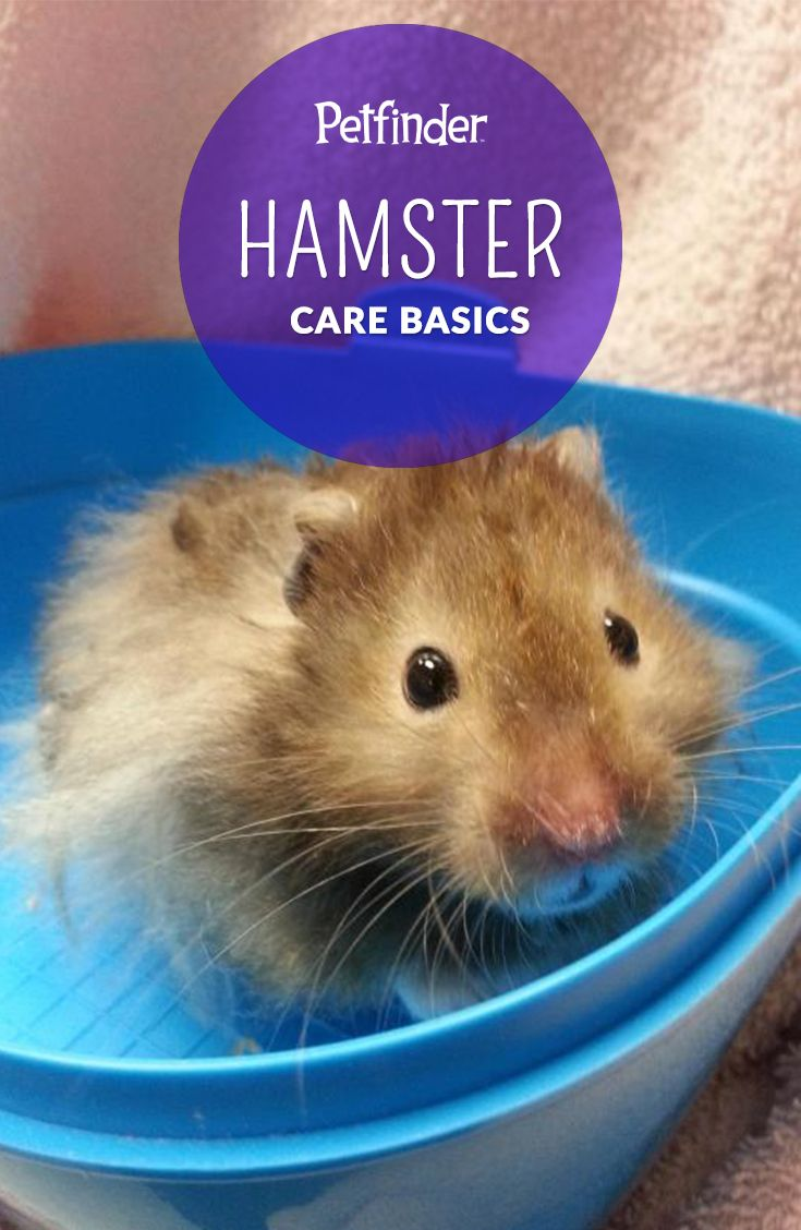 145 best hamster images on pinterest | small animals, hamster
