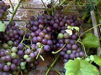 druiven snoeien druif snoei druivelaar werkwijze met foto's snoeiwijze met uitleg