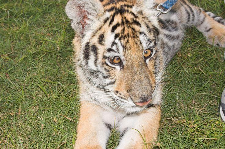 Sweet little tiger cub