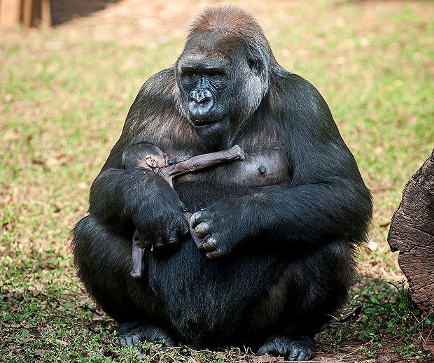 A gorila Imbi com bebê cujo nome será escolhido pelo público
