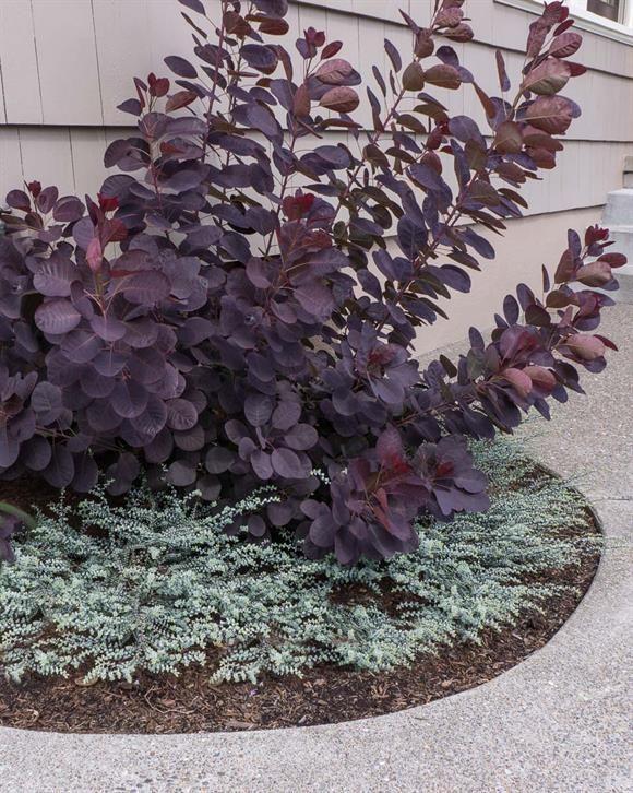 The 25 best smokebush ideas on pinterest purple smoke for Purple low maintenance plants