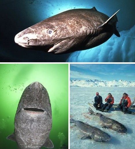 Greenland Sharks may be known as Sleeper Sharks but don't be fooled – they're as deadly as their Great White cousins. Indeed, examinations of the stomach contents of dead Greenland Sharks have revealed the remains of Polar Bears and, in one case, and entire caribou, sans antlers. Greenland Sharks have been seen grabbing hold of unwary reindeer who have come too close to the water's edge. Truly, they're crocodiles of the sea!