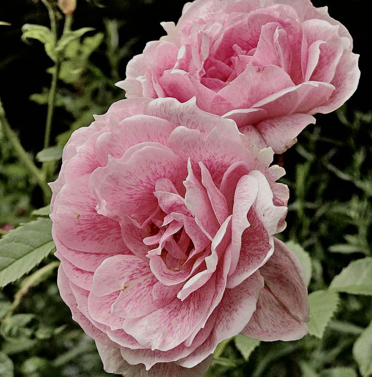 1133 best images about la reine du jardin smell the for Rose meilland