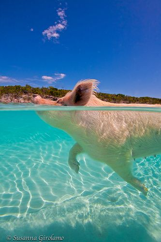 Swam with the pigs in exuma Bahamas