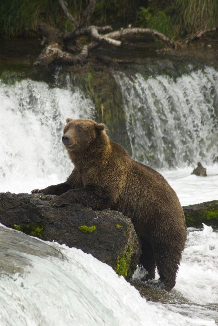 Brown bear, Brooks Camp, Katmai National Park, Alaska.