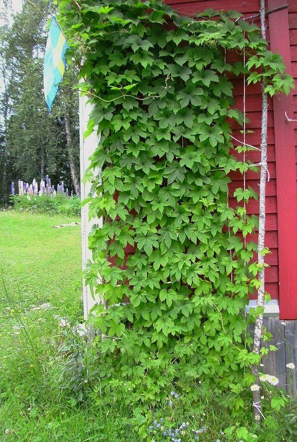 Humle. En gammal sort som funnits i byn sedan minst 30-talet.