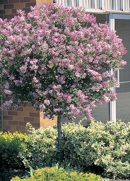 Dwarf Korean Lilac (tree form) is smothered in stunning panicles of fragrant lilac purple flowers at the ends of the branches in late spring, which emerge from distinctive violet flower buds. The flowers are excellent for cutting. It has dark green foliage which emerges burgundy in spring. The small pointy leaves do not develop any appreciable fall color.