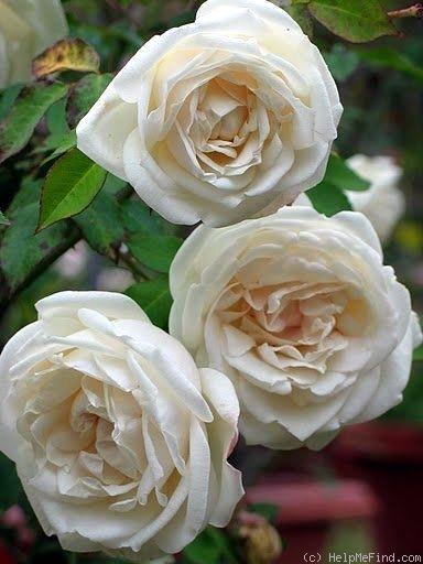 White Garden Rose 3873 best rose garden images on pinterest | beautiful roses