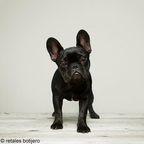 cachorro bulldog negro
