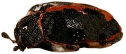 Siyah Halı Böceği
