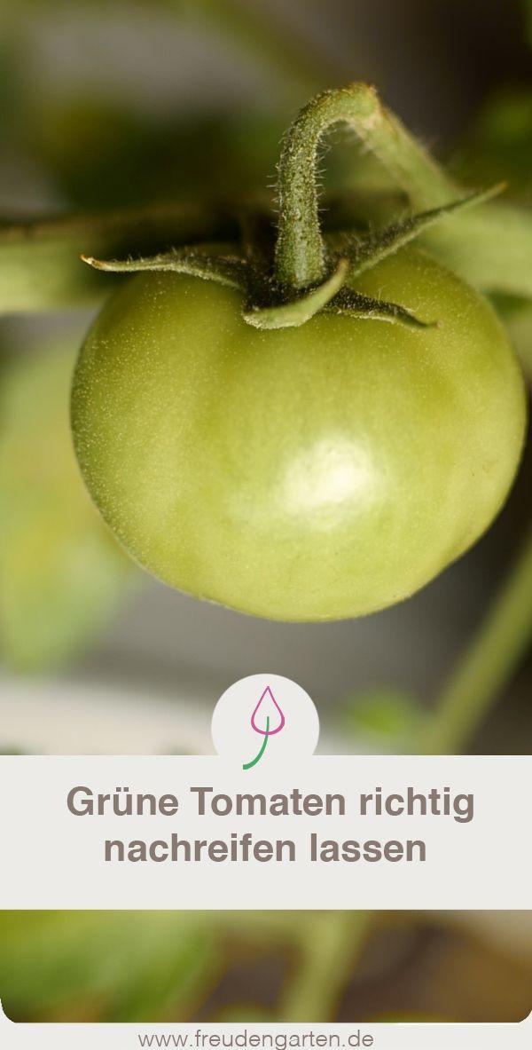 Grune Tomaten Reifen Lassen Grune Tomaten Tomaten Ernten Tomaten Pflanzen