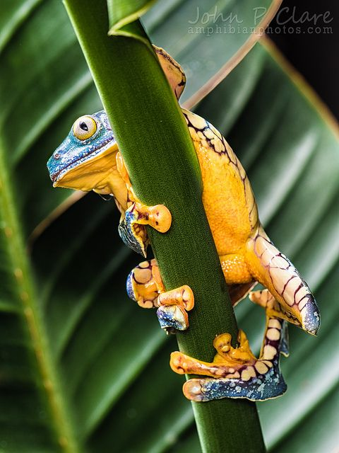 Fringe Tree Frog - Cruziohyla craspedopus This amazing frog, scientifically named Cruziohyla craspedopus (Hylidae), is a speciesknown from Colombia,Ecuador, Peru and two localities in Brazil, whereinhabits high trees in primary forest, butdescends to low branches to breed.
