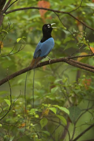 Male Blue Bird of Paradise Calling Lámina fotográfica por Tim ...