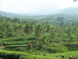 vPlantation can also be classified as type of forest. Plantation is actually a large farm, piece of land or estate that is use for cultivation.
