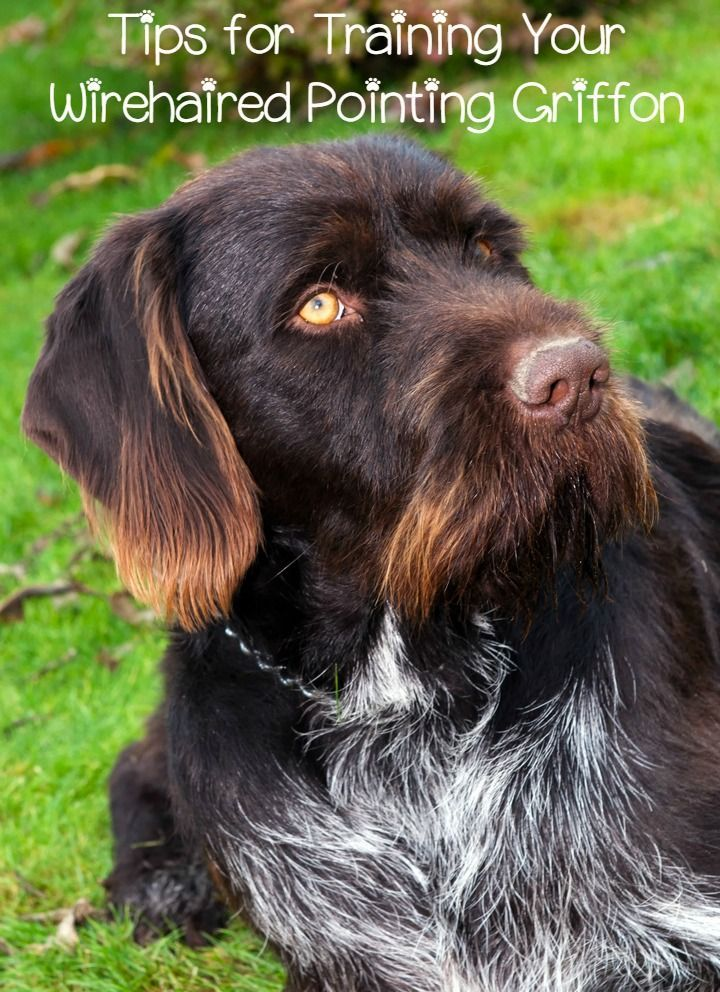 Training a Wirehaired Pointing Griffon isn't difficult if you stay consistent. The Wirehaired Pointing Griffon is a highly trainable breed.