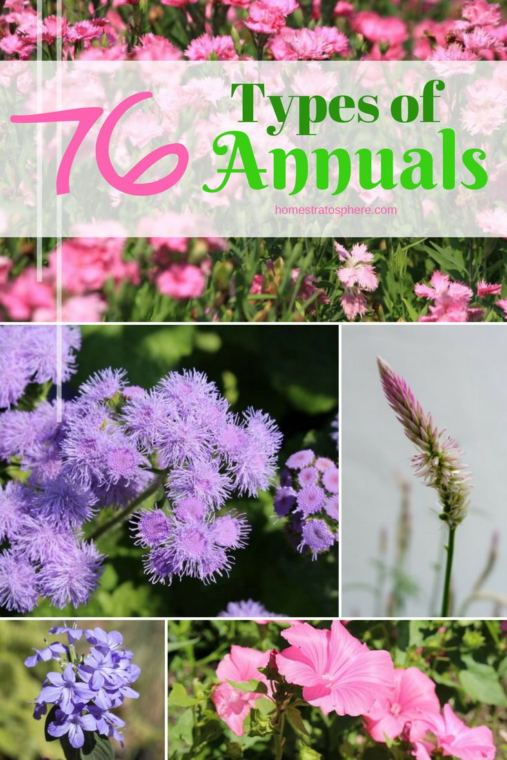 76 Types Of Annuals A To Z Photo Database Annual Flowers