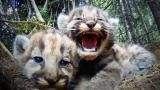 The Secret Life of Mountain Lions ​​Embark on a 6-minute journey into the intimate family life of mountain lions in the wild!