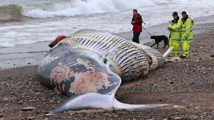 UK Beach Cordoned Off After 50ft Dead Fin Whale Washes Ashore Sparking Fears It Could EXPLODE (VIDEO) #sea #ocean #whale #underwater