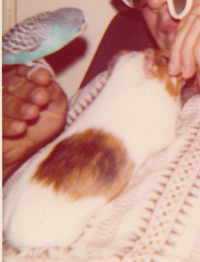 Snabbeltje (1971-1972), mijn 1e cavia en Putzi de parkiet