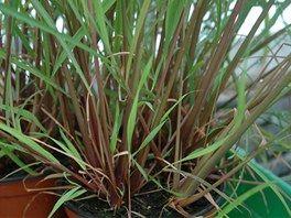 Východoindická citrónová tráva (Cymbopogon flexuosus)