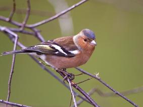 British Birds - Chaffinch -