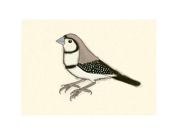 Owl finch sketch