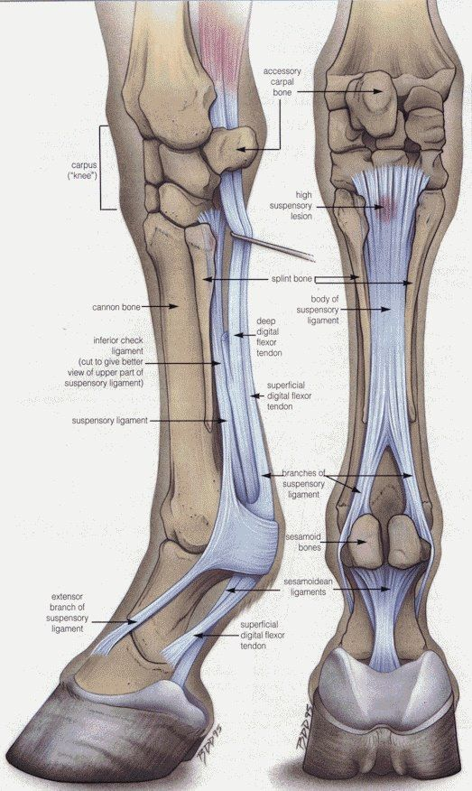 this post has the anatomy of the hose leg. I like how it shows the bones and the ligaments.