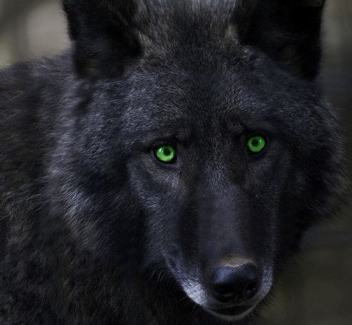 black wolf with green eyes -#main