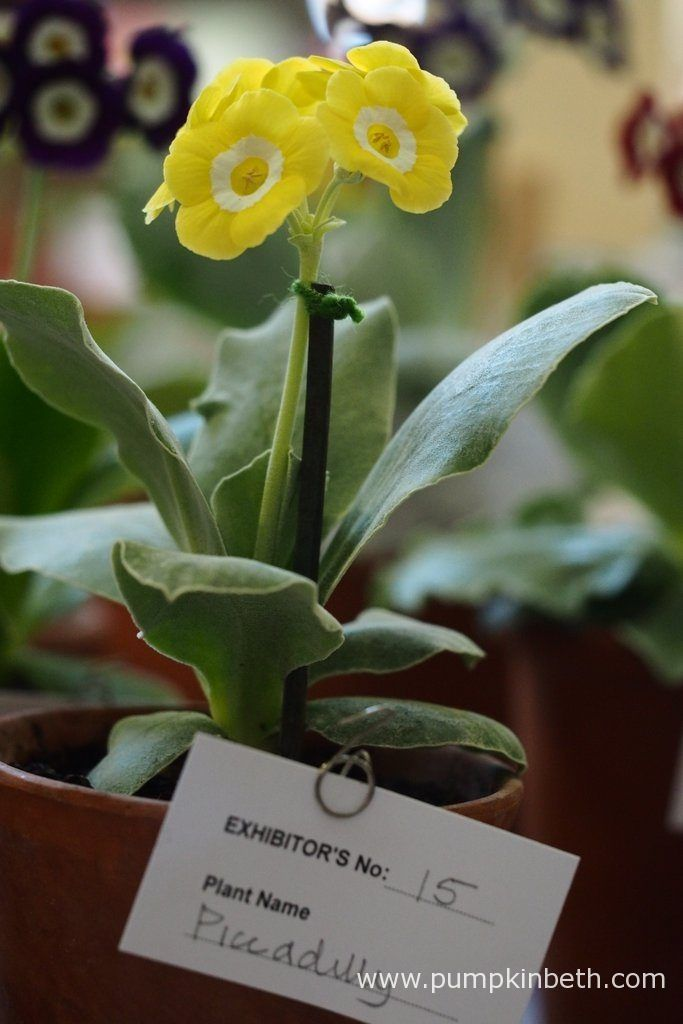 John Powell was awarded first prize for this super example of Primula auricula 'Piccadilly', at The National Auricula and Primula Society Southern Section 132nd Auricula Show.