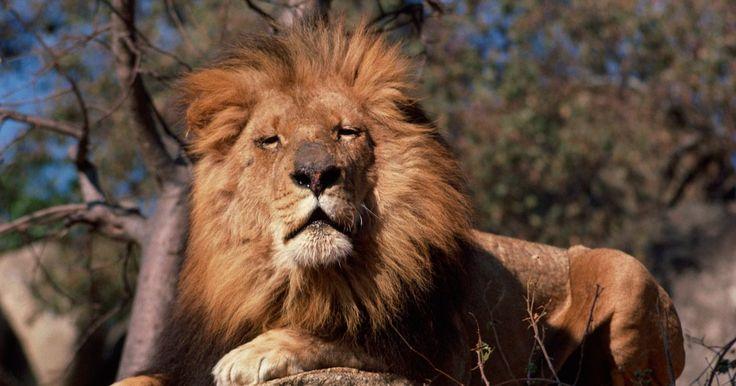 """¿Qué características tienen los leones para sobrevivir en la selva?. Los leones se ganaron el título de """"Rey de la selva"""", porque son la parte superior de la cadena alimentaria en su hábitat natural. Como tal, sería fácil asumir que tienen una vida fácil y su supervivencia en la naturaleza está asegurada. Sin embargo, no es fácil ser el número uno. Los leones han evolucionado con muchas características físicas que ..."""