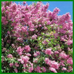Flieder , duftende sommergrüne Sträucher.  Der Flieder ist ein sommergrüner Strauch, der wegen seiner herrlich duftenden, violetten, rosa oder weißen Blüten angepflanzt wird  http://www.gartenschlumpf.de/flieder/
