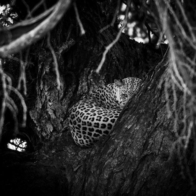 Black and White Wild Animals in Africa by Laurent Baheux