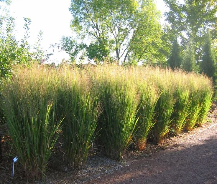 Northwind Switch Grass Panicum  northwind