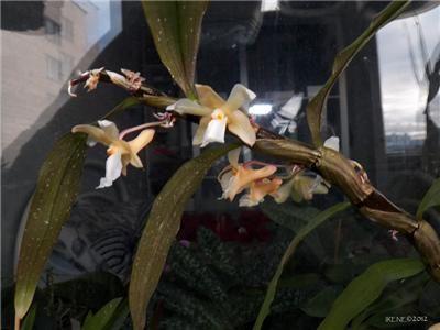 Irene (Мои орхидеи) (продолжение 3)