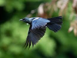 Tui in flight