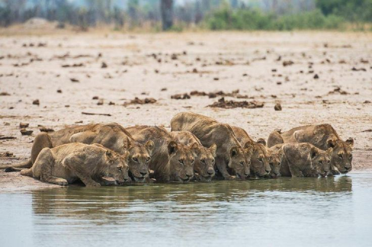 Hwange in the dry season is one of Africa's best game viewing experiences! It is also seeing the start of the exciting rebuild of Linkwasha Camp...