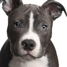 american pitbull terrier - junior lookalike