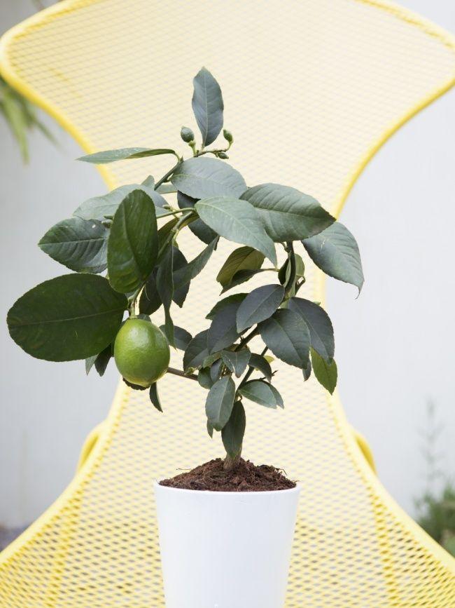 Zitruspflanze ist schön und praktisch – pflanzenfreude.de #zitrus