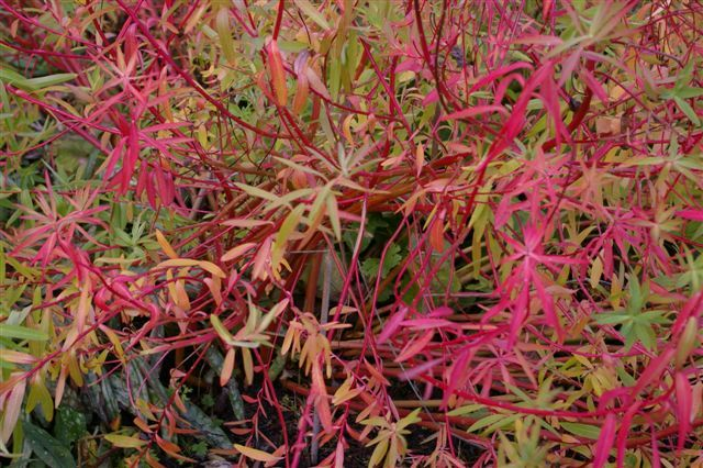 Euphorbia palustris in Autumn