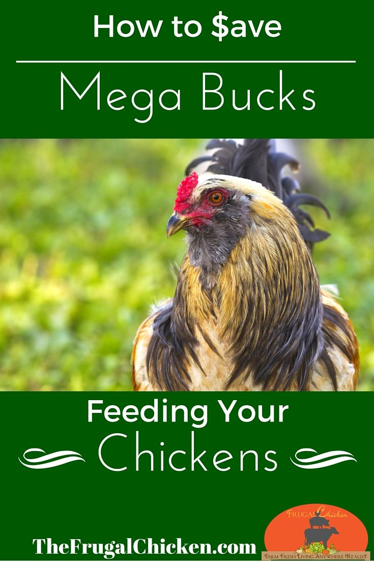 Who doesn't want to save money on chicken feed? In this session of What The Cluck?! you'll learn 8 ways to save money on chicken feed. From FrugalChicken