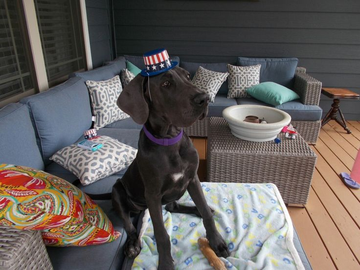 Piper on Memorial Day.  Blue Great Dane puppy 5 months old