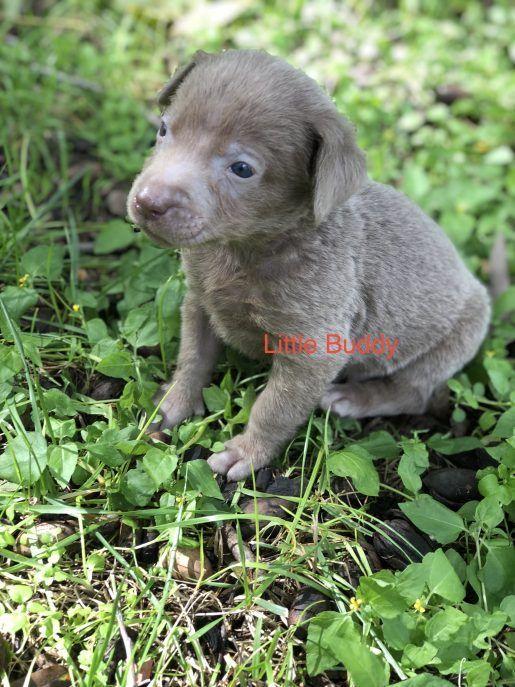 Little Buddy Male Silver Lab Born Sept15 Labrador
