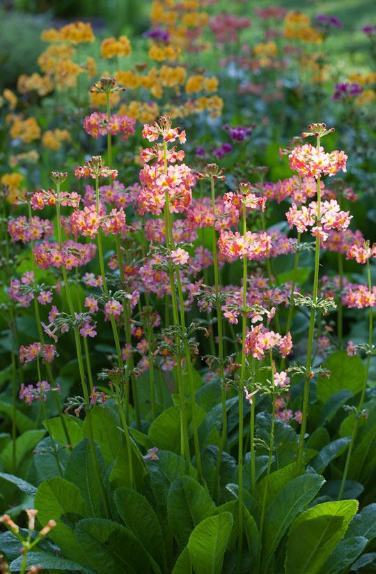 Primula beesiana and Primula bulleyana bloom near The Pond. Photo by Lisa Roper
