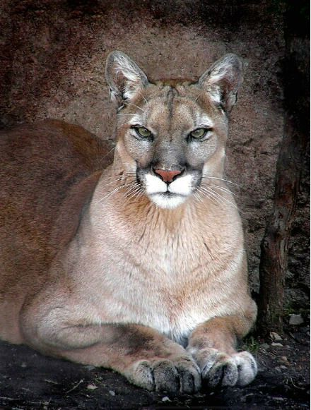 What a majestic cougar, awesome!