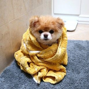 This little guy who's getting cozy after bath time. | 42 Of The Most Important Puppies Of All Time