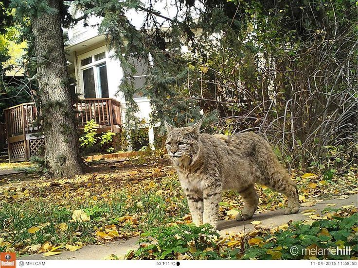 Another one of my images of the famous Boulder bobcat - Imgur